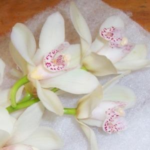 Mini Cymbidium Orchids White Flower