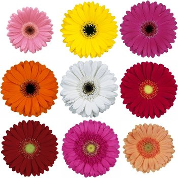 Mini Gerbera Assorted Daisies
