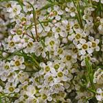 Wax Flower White