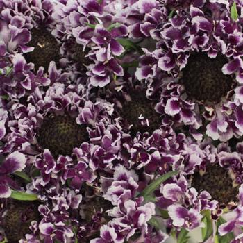 Frosted Amethyst Scabiosa Flower