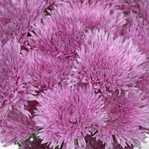 Intriguing Lavender Pink Pom Flower