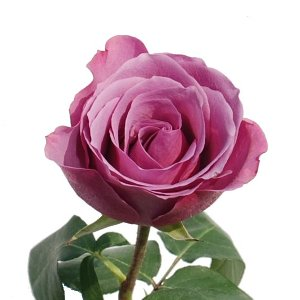 Mystery Dark Lavender Purple Rose