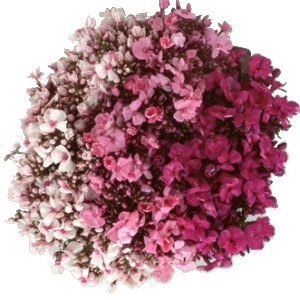 Phlox Light Pink Flower