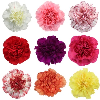 Assorted Color Mother's Day Carnation Flowers