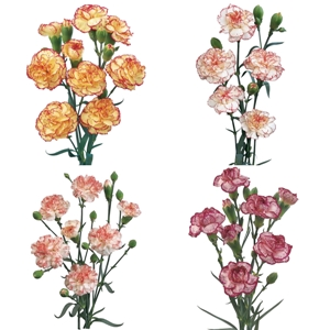 Mixed Novelties Mini Carnation Flowers