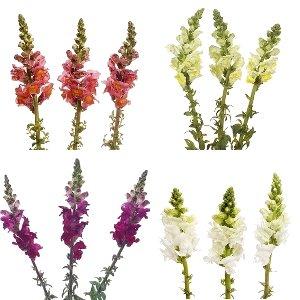 Snapdragon Farm Mix Flower
