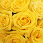 Bulk Rose Yellow Mohana