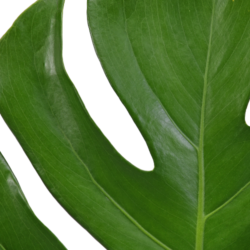 Monstera Leaves Tropical Greenery