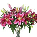 Pink Medusa Oriental Lilies