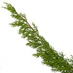 Single stem of fresh cut greens monterey cypress winter filler flowers