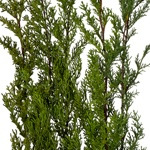 Wholesale greenery monterey cypress winter filler flowers sold as bulk