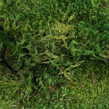 Dried Mood Moss