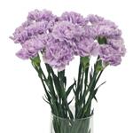 Bulk Carnation Flower Pastel Purple Lavender