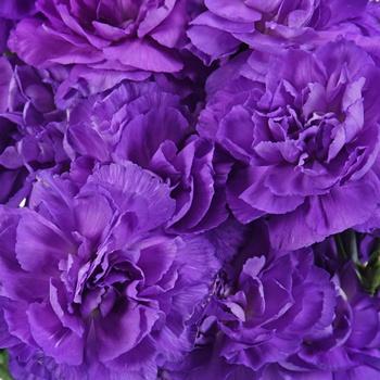 Moonberry Light Purple Mini Carnation Flowers