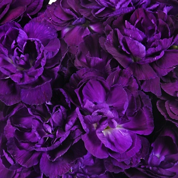 Moonique Purple Mini Carnation Flowers