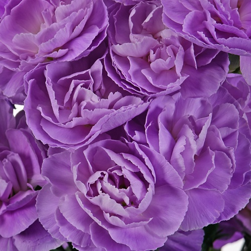 Moonpearl Lavender Mini Carnation Flowers