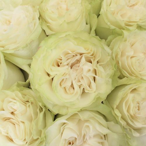 Creamy Ivory Garden Rose