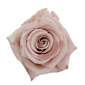 Preserved Mother of Pearl Rose