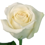 White Rose Mt Everest