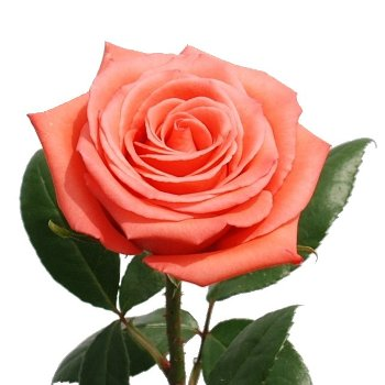 XXL Long Stemmed Roses Movie Star Rose