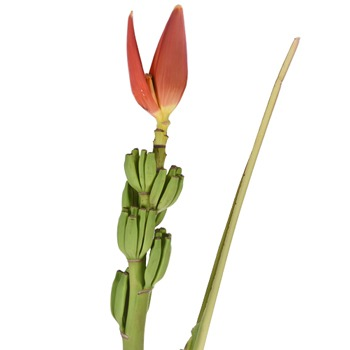 Orange Musa Banana Flower