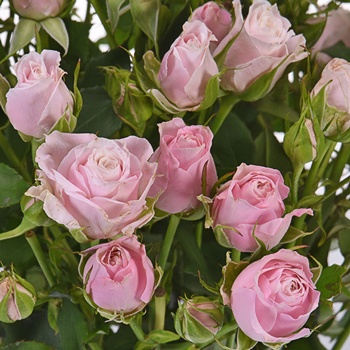 Hint of Pink Wholesale Spray Roses