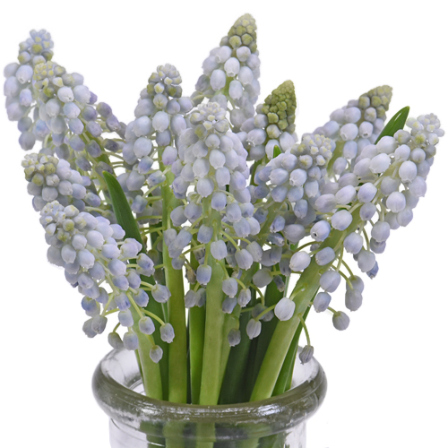 Lavender Blush Muscari Flower - Jan to April