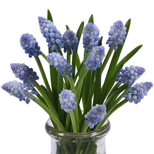 Light Blue Muscari Flower - Jan to April