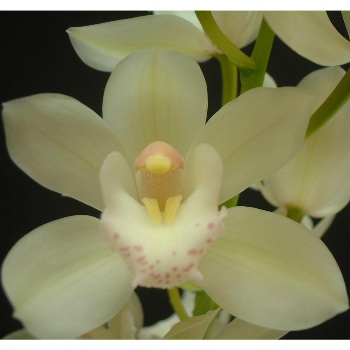 Mini Cymbidium Orchids Cream Delight