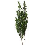 Wholesale greenery myrsine africana filler flowers sold as bulk