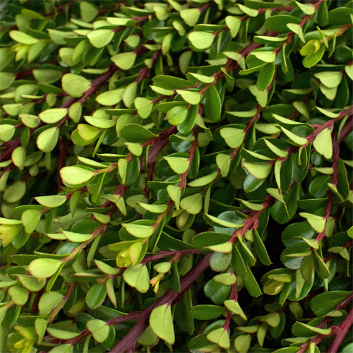 Wedding greenery light green myrsine africana filler flowers sold near me