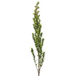 Single stem of fresh cut greens myrsine africana filler flowers