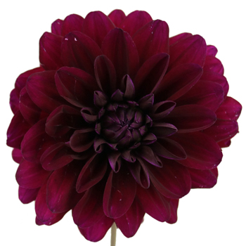 Burgundy Berry Dahlia Flower