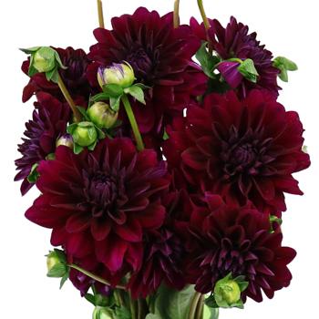 Burgundy Berry Dahlia Flower Fiftyflowers Com
