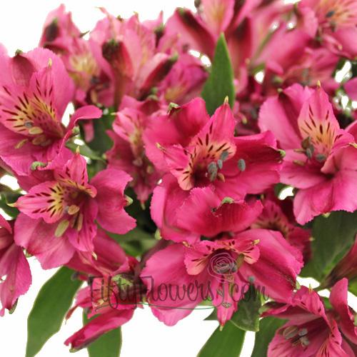 Purpleberry Peruvian Lilies