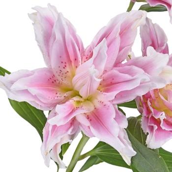 Bubblegum Pink Rose Lily