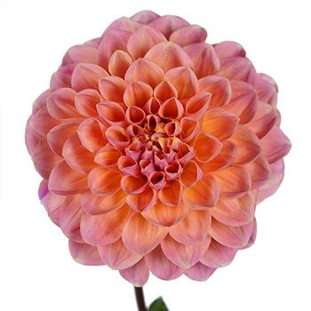 Party Peach Dahlia Flower