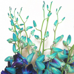 Orchids Dendrobiums Blue Dyed