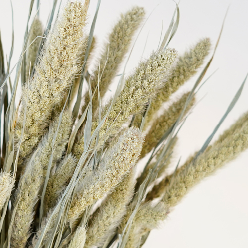 Dried Foxtail Millet Grasses