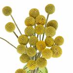 Billy Balls Yellow Flower