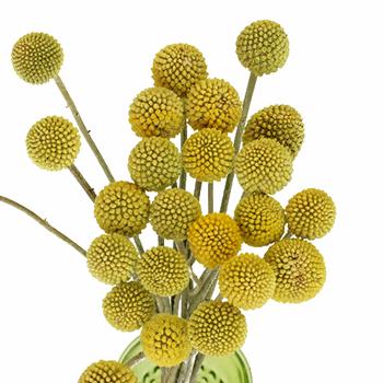 Craspedia Billy Balls Yellow Flower Fiftyflowers Com
