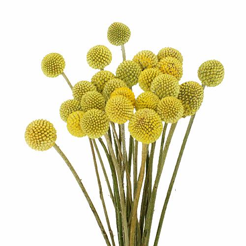 Craspedia Yellow Flower