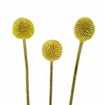 Craspedia Billy Balls Yellow Flower