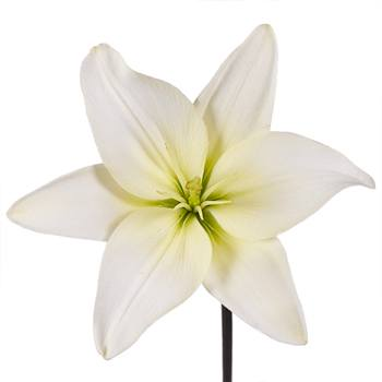 Lime White Asiatic Lily