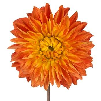 Joyful Orange Dahlia Flower