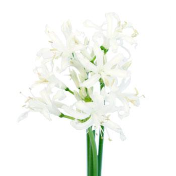 Nerine White Flower