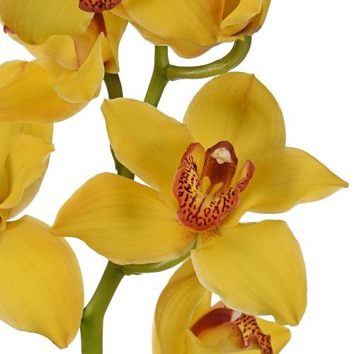 Cymbidium Orchids Yellow with Dark Pink Lip