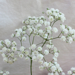 Baby_Breath_Flower_New_Love_150.jpg