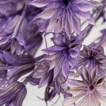 Violet Dried Nigella Pods