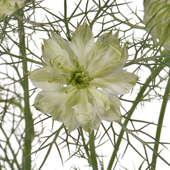 Love in a Mist White Nigella